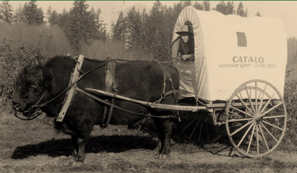 "Leland Wilson and his ""catalo"" named Jumbo, the only living male offspring from a bison bull and domestic cow, in 1929. From his Grand View Ranch near Colville, Wilson traveled the country selling postcards of this animal and touting the superior qualities of this breed of livestock. (shared by Donna Husby)"